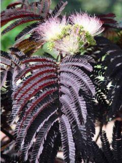 Albizia julibrissin Summer chocolate, arbre de soie