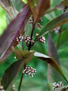 Callicarpa kwangtungensis - Arbuste aux bonbons de Chine