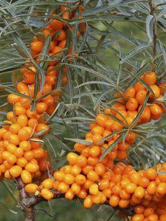 Hippophae rhamnoides Friesdorfer Orange - Argousier