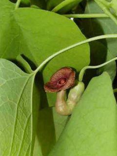 Aristoloche durior - Aristoloche siphon