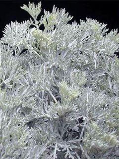 Armoise - Artemisia arborescens Little Mice