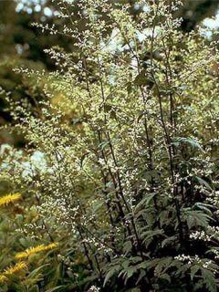 Armoise - Artemisia lactiflora Guizhou