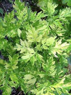 Armoise - Artemisia vulgaris Oriental Limelight