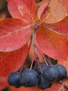 Aronia melanocarpa Autumn Magic NOBLE®