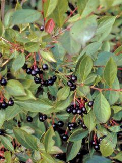 Aronia melanocarpa Hugin - Aronie à fruits noirs