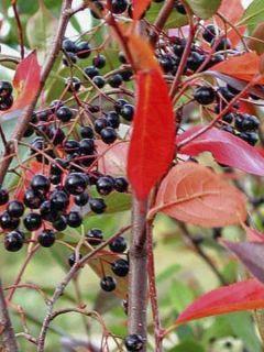 Aronia melanocarpa Professor Ed - Aronie à fruits noirs
