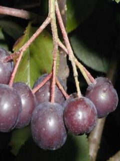 Aronie à fruits noirs 'Viking'