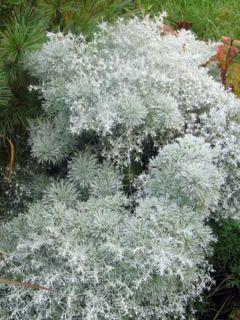 Armoise - Artemisia schmidtiana Nana