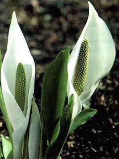 Lysichiton camtschatcensis - Arum bananier blanc