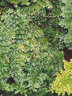 Aspidie à cils raides Densum - Polystichum setiferum