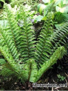 Polystichum setiferum - Fougère - Polystic à soies
