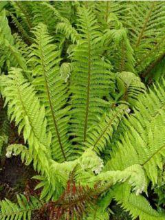 Polystichum aculeatum - Fougère - Aspidie à soies raides
