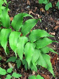 Cyrtomium falcatum, Fougère