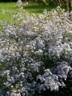 Aster cordifolius Blütenregen - Aster à feuilles en coeur