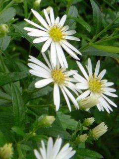 Aster ageratoides Ashvi - Aster d'automne blanc