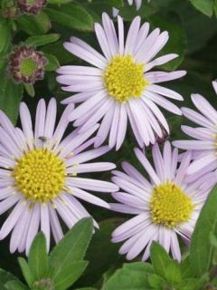 Aster ageratoides Asmoe - Aster nain d'automne