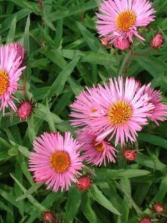 Aster novae-angliae Barr's Pink - Grand aster d'automne
