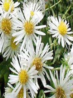 Aster Herbstschnee Miracle blanc