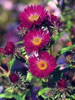 Aster novae-angliae Septemberrubin - Septembre rouge