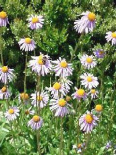 Aster tongolensis Berggarten - Aster de Printemps