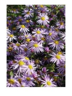 Aster Eleven purple - Aster nain d'automne