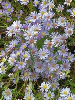 Aster ericoides Blue Star - Aster à feuilles de bruyère.