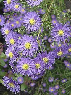 Aster ericoides blue wonder