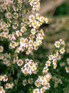 Aster ericoides Herbstmyrte - Aster à feuilles de bruyère