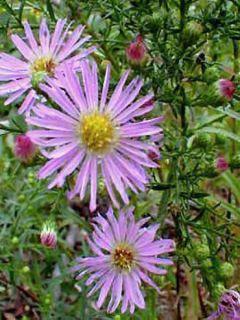 Aster hybride Pink Star - Aster rose