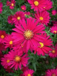 Aster grand d'automne 'Crimson Brocade'