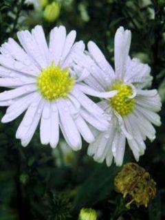 Aster novi-belgii Porzellan - Aster grand d'automne blanc bleuté