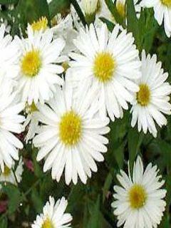 Aster novi-belgii White Lady - Aster grand d'automne