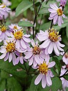 Aster ageratoides Harry Schmidt - Aster nain d'automne