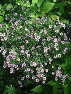 Aster laterifolius Coombe Fishacre - Aster d'automne