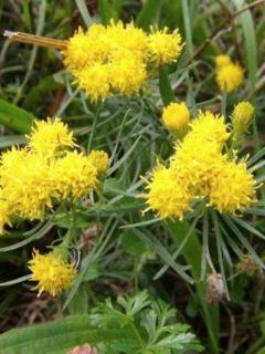 Aster linosyris - Aster à feuilles d'osyris