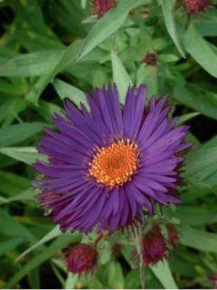 Aster de la Nouvelle-Angleterre 'Purple Dome'