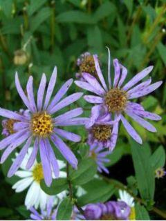 Aster radula - Aster botanique.