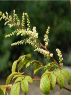 Astilbe rivularis Grandiflora