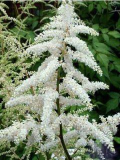 Astilbe japonica Deutchland - Astilbe du Japon Deutchland