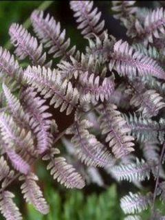 Athyrium niponicum Burgundy Lace - Fougère japonaise