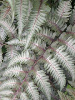 Athyrium niponicum Pewter Lace - Fougère Peinte