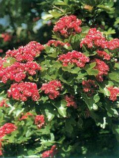 Aubépine - Crataegus laevigata Paul's Scarlet