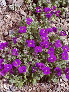Aubriete Royal Violet - Aubrieta x cultorum