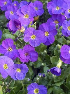 Aubriete Kitte® Bleu (Blue)  - Aubrieta x gracilis en pot de 2/3 L