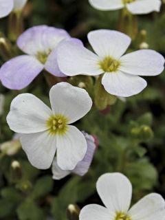 Aubriète Kitte White - Aubrieta x gracilis en pot de 2/3 L