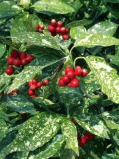 Aucuba japonica Crotonifolia - Aucuba du Japon panaché.