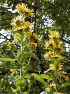 Inula racemosa Sonnenspeer - Aunée