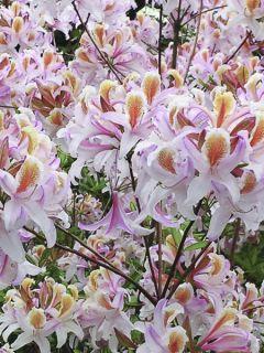 Azalée de Chine Delicatissima - Rhododendron (x) occidentale