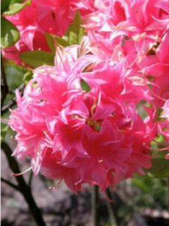 Azalée de Chine Homebush - Rhododendron hybride