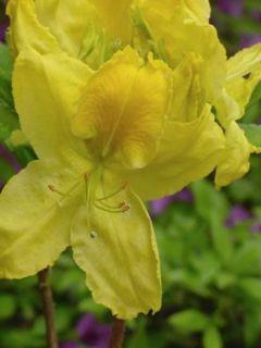 Azalée caduque knaphill -jaune-